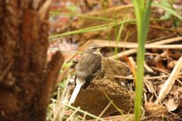 Cape Wagtail - juvenile