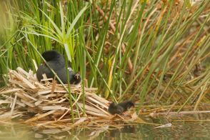 Common Moorhen and young