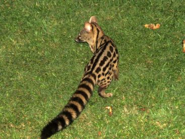 Greater Spotted Genet