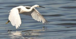 Little Egret by Dave Rimmer
