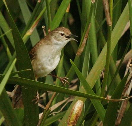 Little Rush-Warbler