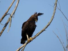 Long-crested Eagle - Frank Kihn