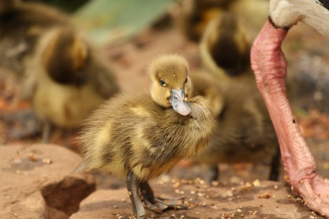 Spur-winged Goose - Gosling