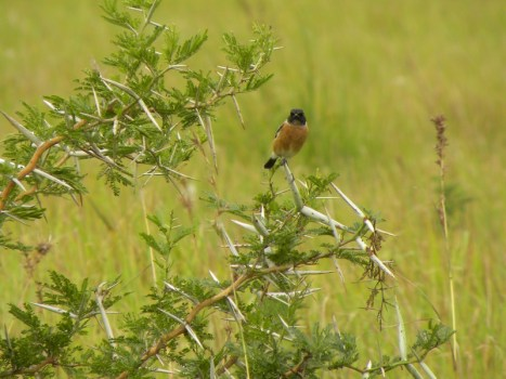 African Stonechat, Keith Booysen