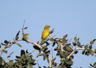 Brimstone Canary, Ilala Palm