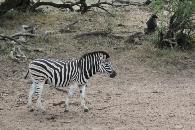 Burchell's Zebra, kuMasinga Hide Mkuze