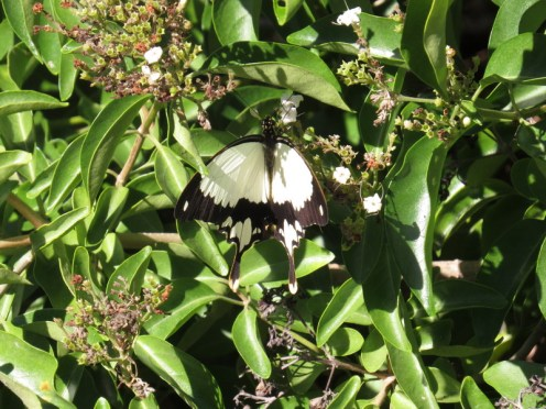 Butterfly, Kosi Bay mouth