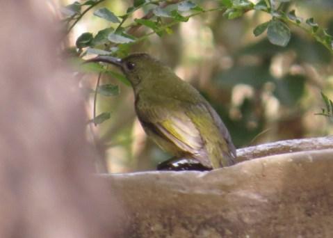 Olive Sunbird, Ilala Palm
