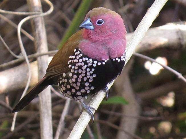 Pink-throated Twinspot, Ilala Palm