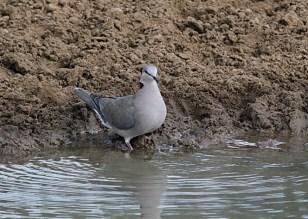 Red-eyed Dove, Mkuze
