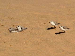 Sanderlings, Sodwana - Jane Morris