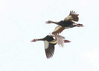 Spur-winged Geese, Muzi Pan