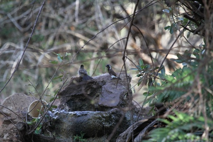 White-eared barbet, Mkuze