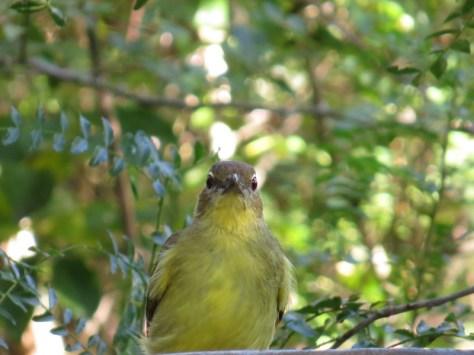 Yellow-bellied Greenbul, Ilala Palm