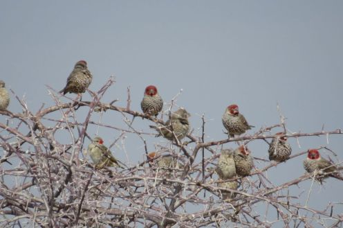 Red-headed Finches. Etosha