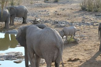 Halali Waterhole - Elephant & Black Rhino being dwarfed. Etosha