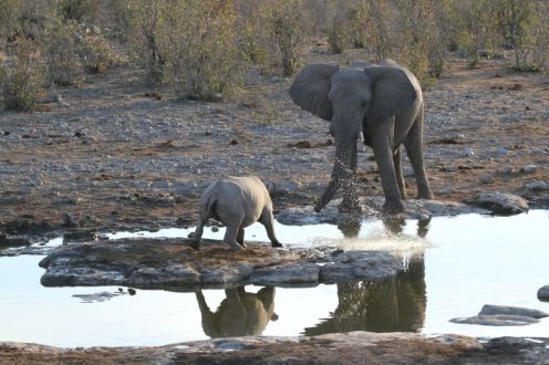 Elephant giving the Black Rhino a soaking. Etosha