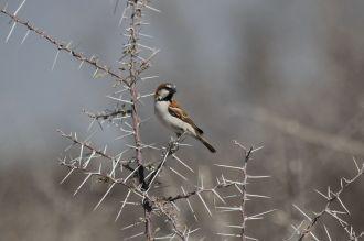 Great Sparrow. Etosha