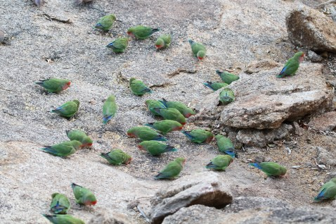 Rosy-faced Lovebirds. Erongo