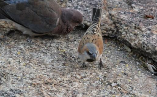 Great Sparrow. Erongo