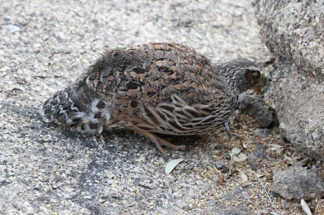 Hartlaub's Spurfowl - male. Erongo