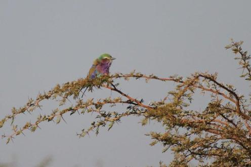 Lilac-breasted Roller, Hippo Pools, Ruacana