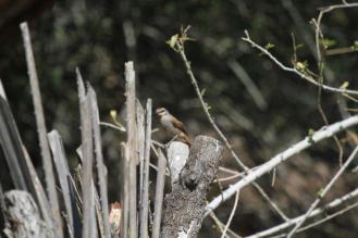 Rufous-tailed Palm-Thrush, Kunene River Lodge