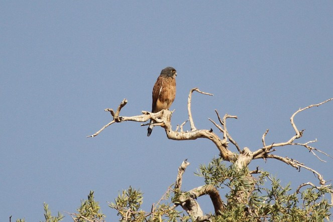 Rock Kestrel. Brandberg