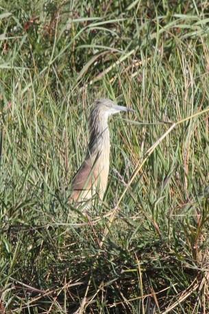 Squacco Heron, Chobe NP