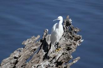 Little Egret, Chobe NP