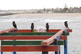Crowned Cormorant on the right with Cape Cormorants. Swakopmund