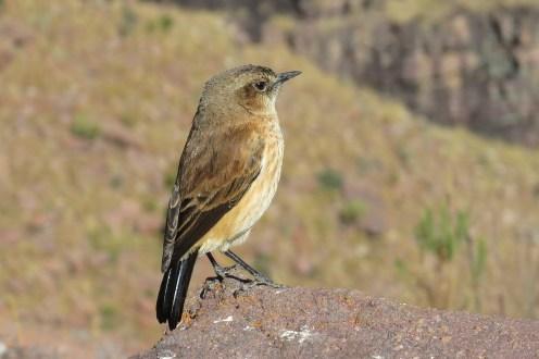 Buff-streaked Chat - female, Marakele