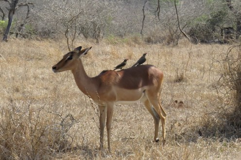 Red-billed Oxpeckers atop an obliging Impala