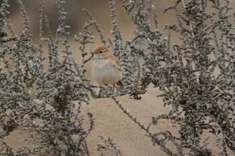 Dune Lark. Walvis Bay