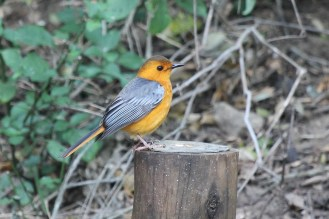 Red-capped Robin-Chat a.k.a. the RC RC bird