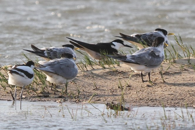 Sooty Tern among Swift Terns