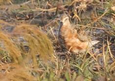 Curlew Sandpiper in partial breeding plumage