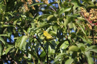 Yellow White-eye. Katima Mulilo, Caprivi