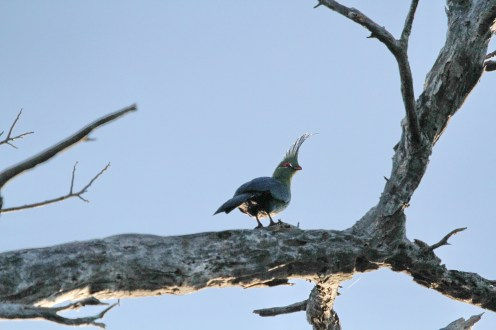 Schalow's Turaco