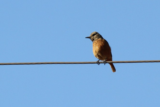 Cape Rock-Thrush - female