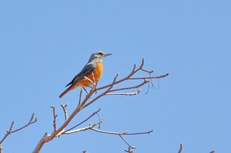 Short-toed Rock-Thrush - male, Marakele