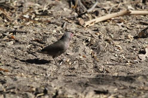 Brown Firefinch. Nambwa
