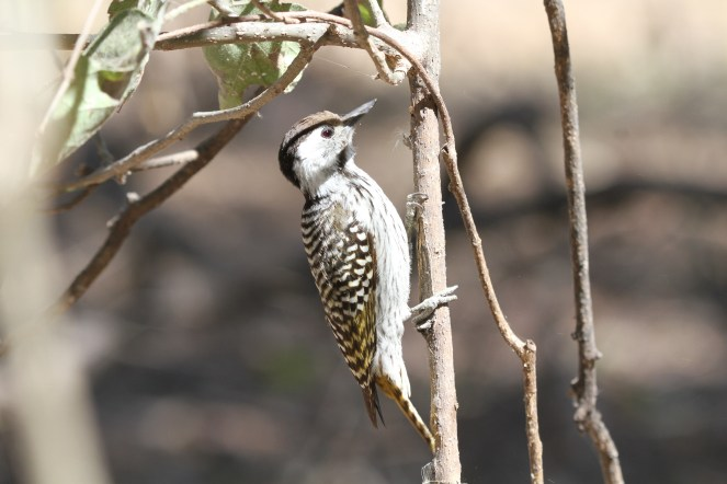 Cardinal Woodpecker - female. Nambwa