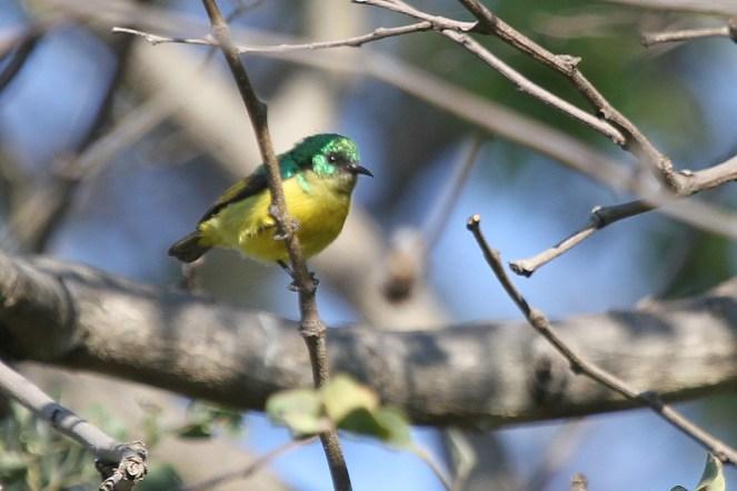 Collared Sunbird. Nunda