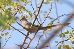 Red-faced Mousebird. Nunda