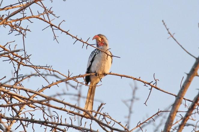 Red-billed Hornbill. Roy's Camp