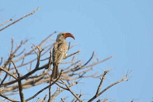 Bradfield's Hornbill. Shamvura.
