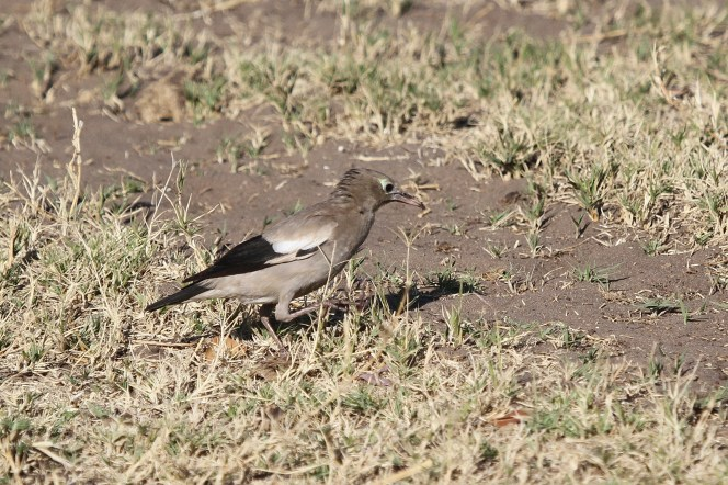 Wattled Starling. Shamvura.