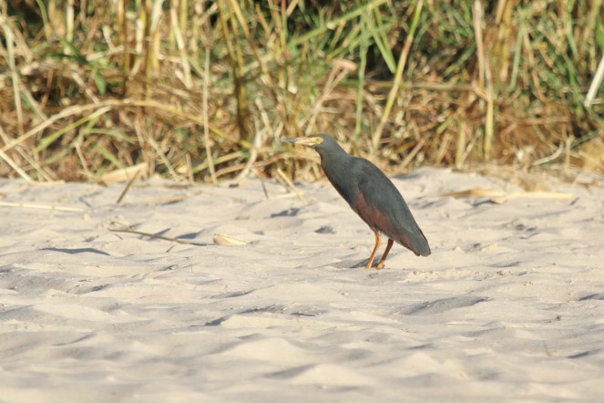 Rufous-bellied Heron. Shamvura