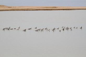 Black-necked Grebes. Swakopmund